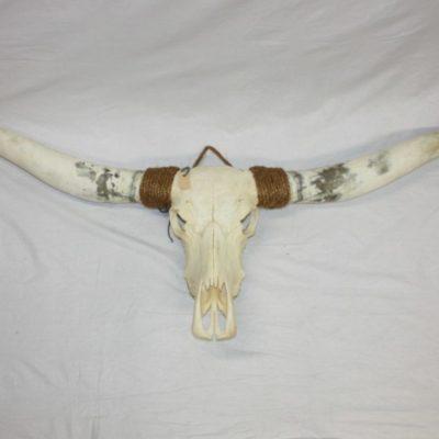 Stoere Longhorn met prachtige wittige hoorns